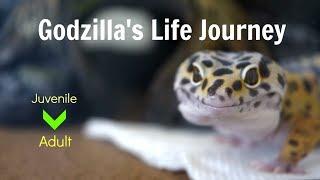 Godzilla the Leopard Gecko's Life Journey