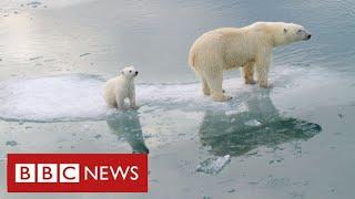 "Arctic polar bears ""face near-extinction within decades"" warn scientists - BBC News"