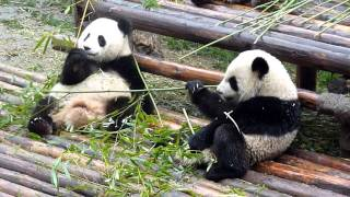 Video : China : Pandas !