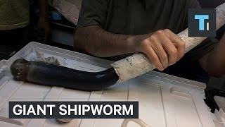 Giant shipworm just gave scientists new clues about some of the weirdest life forms on Earth