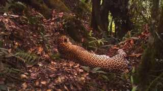 Редкий яванский леопард