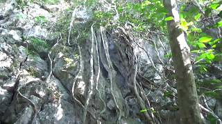 Сила жизни: дерево растет сквозь камень - tree grows through the stone - Acoustic Symphony - 02