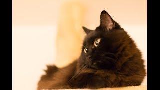 しゃべるねこと会話して過ごす夜更け Late night chat with Theo the cat. | Kholo.pk