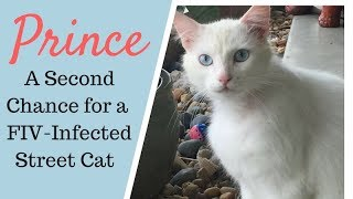 Saving Prince - An FIV Positive Cat from the Street