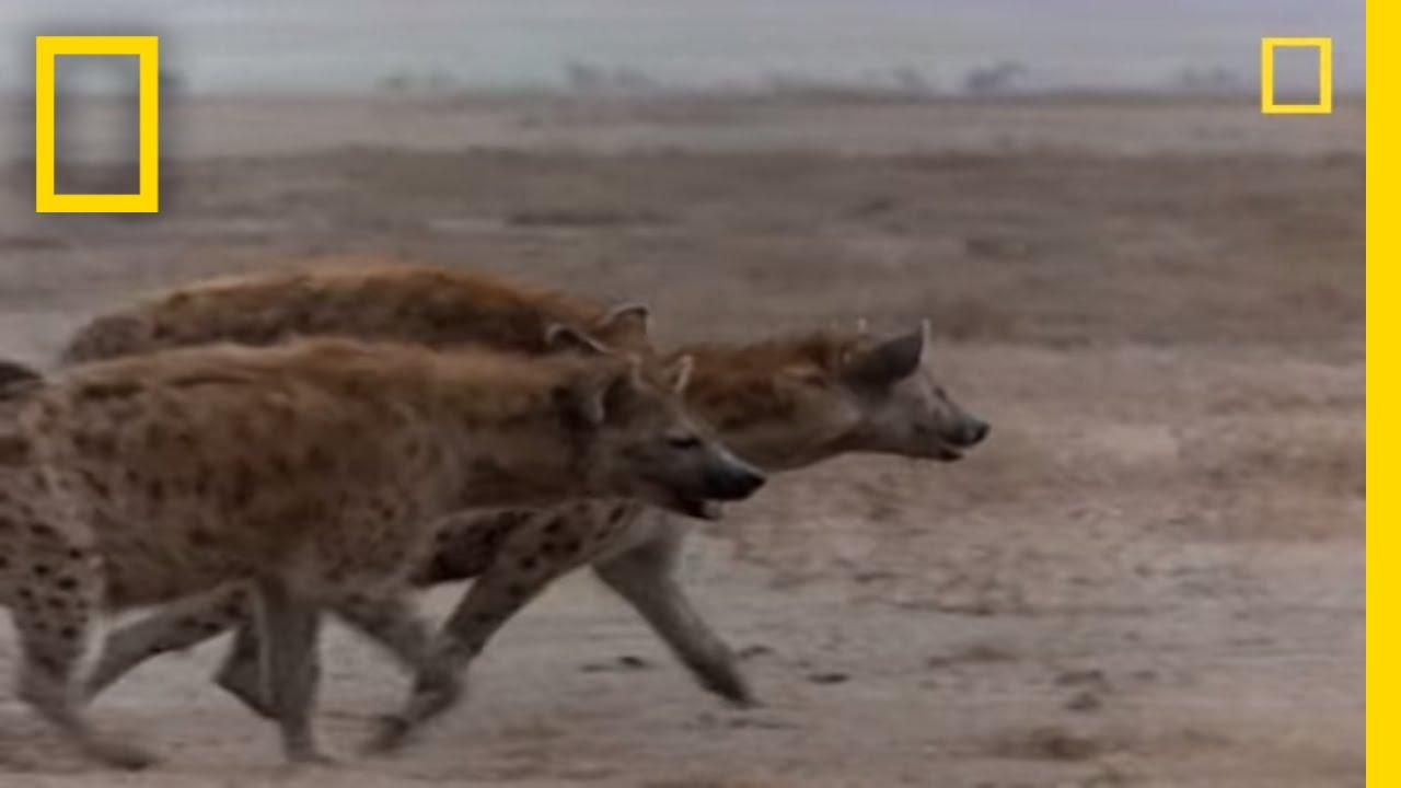Hyena vs. Cape Buffalo | National Geographic thumbnail