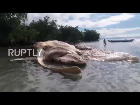 Indonesia: Mysterious sea 'monster' washed up on Seram Island has been identified