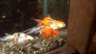 Лечение Золотой Рыбки