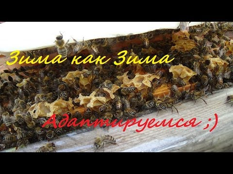 Зима без зимы а пчела зимует!!!