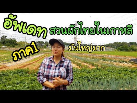 อัพเดทสวนผักไทยในเกาหลี/ภาค1/EP.135/สวนพริก/สวนมะเขือ/สวนถั่ว/สวนมะเขือเทศ/ผักบุ้ง/ผักชี/ผักสลัด