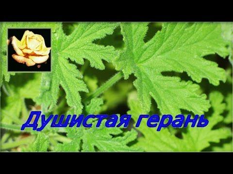 Душистая пеларгония. Размножение. Уход. Комнатные растения.