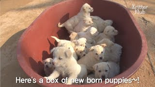 Come See 3 Mother Dogs And Their 23 Cute White Puppies In Full House | Kritter Klub