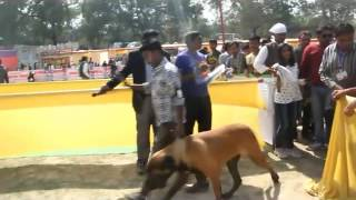 preview picture of video 'Beagle and Pug dog win All India dog championship 2015 in Allahabad'
