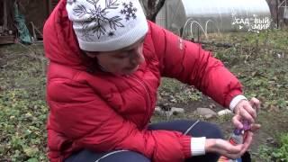 Как сеять астры под зиму