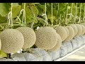 Melon Farming My farm 2018