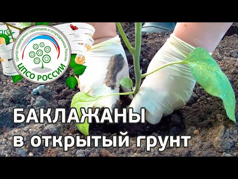Как посадить рассаду баклажана в грунт. Выращиваем баклажаны.