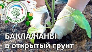 Выращиваем баклажаны. Как посадить баклажаны через рассаду.