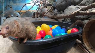 Mongooses Get Rascally In A Ball Pit