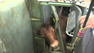 Australian Livestock Export Industry - Slaughter with Stunning Training Video