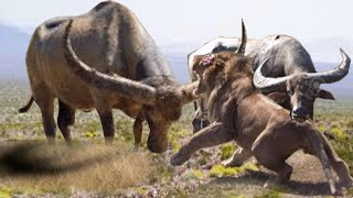 Lions Jumps Back To Scape The Fighting Buffalo