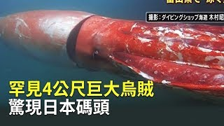 罕見4公尺巨大烏賊驚現日本碼頭大千世界巨型大王烏賊|日本富山灣