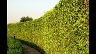 How To Create A Natural Privacy Wall FAST.