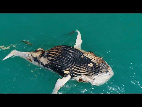 Моряки стали свидетелями того, как акула и крокодил объедают тушу кита