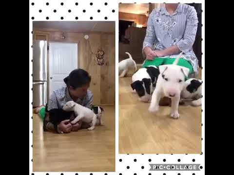 AKC Bull Terrier Puppy playing