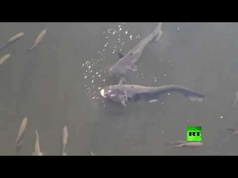 العرب اليوم - شاهد: أسماك عملاقة مُعدَّلة وراثيًا تُثير الرعب في تشيرنوبل