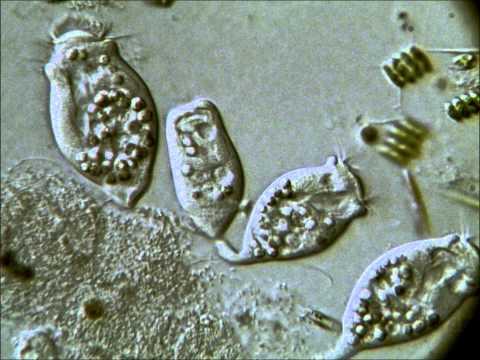 Halogén helminthosporium