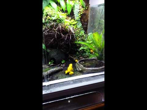 Orange phyllobates terribilis calling and courting