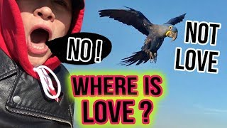 HYACINTH MACAW LOVE'S VERY FIRST FREE FLIGHT GONE WRONG!