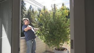 Mrs. Growers Giant Plant Update by Urban Grower