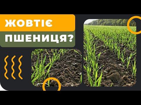 Почему желтеет пшеница?