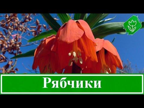 Цветок рябчик – посадка, уход и выращивание, рябчик после цветения