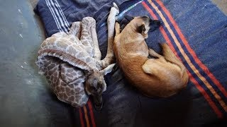 Abandoned Baby Giraffe Makes An Unlikely Friend That Saves His Life