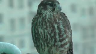 Хищная птица на балконе