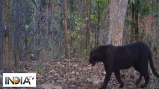 Rare black panther spotted in Chhattisgarh's Achanakmar Tiger Reserve