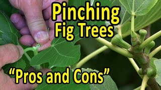 """PINCHING Fig Trees To Promote Early Fruiting And Branching – """"Pros And Cons""""   Why, How And When"""