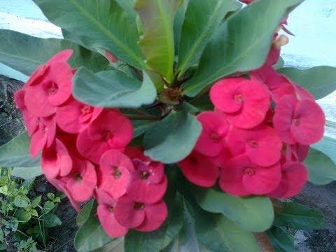 Video Tanaman Bunga Euphorbia