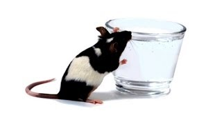 How Much Drinking Water Do Rats Need? | Pet Rats