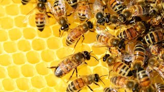 how do bees make hives | honey bee hive formation