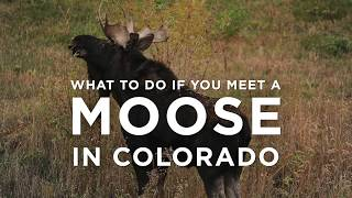 What to do if you meet a moose