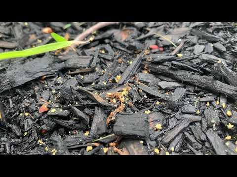 Carpenter Ants & Citronella Ants Battle it...