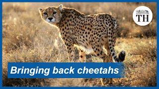 Bringing back cheetahs in India