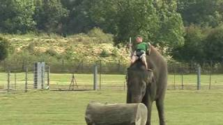 preview picture of video 'Whipsnade elephants family, calf and training'