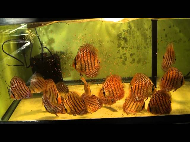Feeding Tetra Color Tropical Granules to Discus Fish