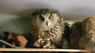 Хрусть. Когда сове хочется что-нибудь перекусить, она перекусывает перо.