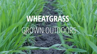 Outdoor, Field Grown Wheatgrass