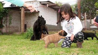 cachorros de cane corso 48 dias