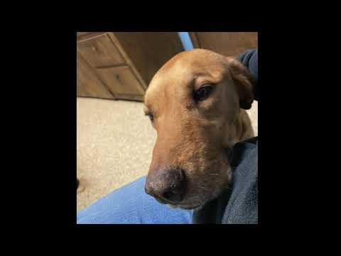One-in-a-Million Sam - PENDING, an adopted Labrador Retriever & Hound Mix in Westport, CT_image-1